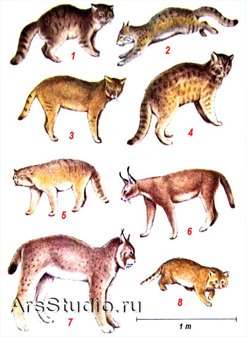 Семейство кошек